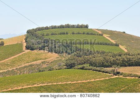 View Of Vineyards Near Sir Lowreys Pass