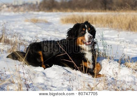Bernese dog outdoor