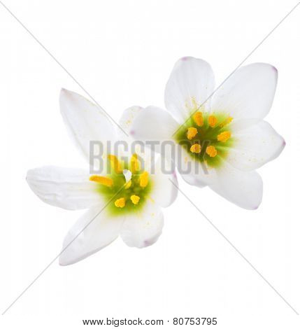 Closeup of Two lilies isolated on a white background. zephyranthes candida