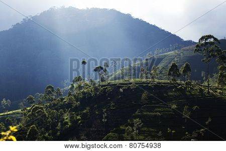 green tea plantation landscape, Maskelyia, Sri Lanka