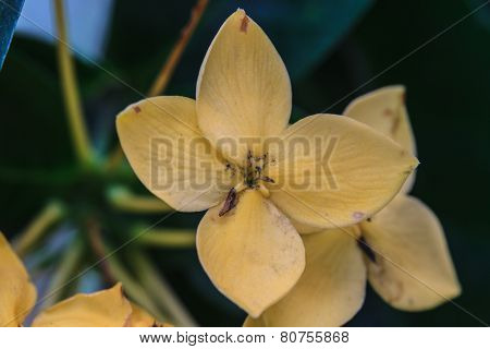 Yellow  Ixoras, West Indian Jasmine Flower