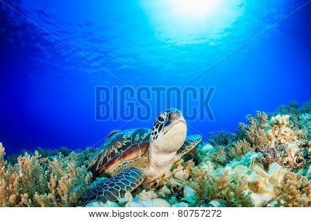Green Turtle with sun behind