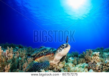 Sea Turtle Raising Its Flipper Towards The Sun