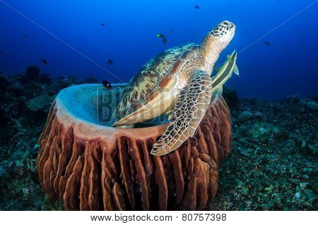 Green Sea Turtle With Remora Swims Out From A Barrel Sponge In The Ocean