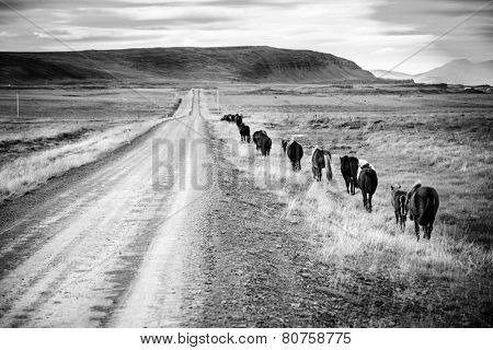 A herd of Icelandic ponies moving along gravel road in Iceland countryside