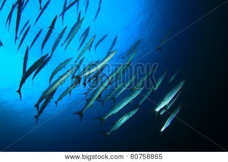 School Barracuda fish