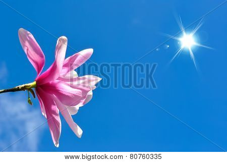 Blooming Magnolia Flower