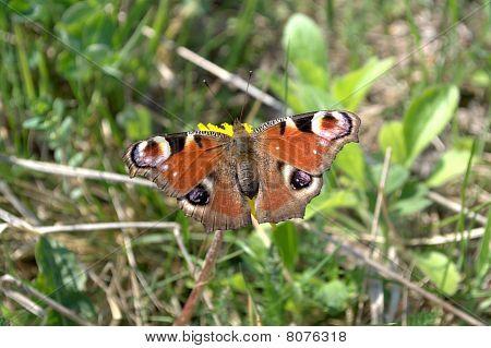 European Peacock (Inachis io)