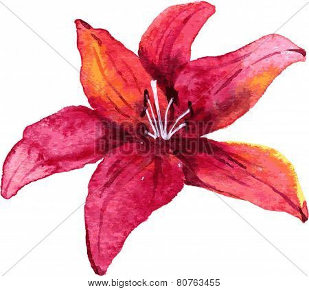 Watercolor drawing lily flower