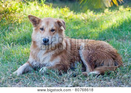 Close up thai dog