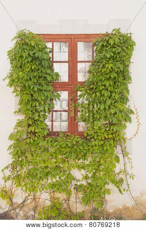 Window Framed By Green Creeper