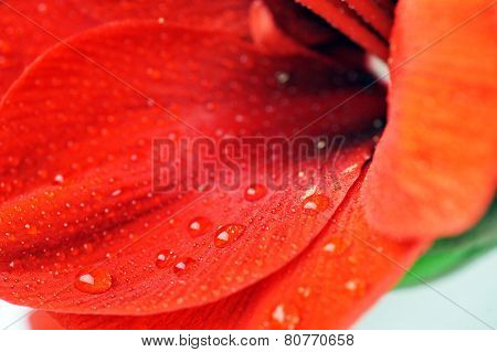 Petals Of Red Flower