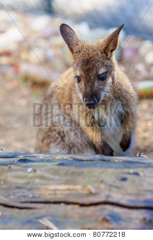 Bennett's Wallaby Up Close