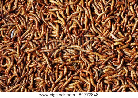 Many  Larvae