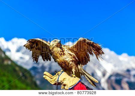 Falcon At Yulong Snow Mountain