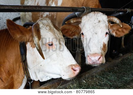 Chained Cows In A Barn