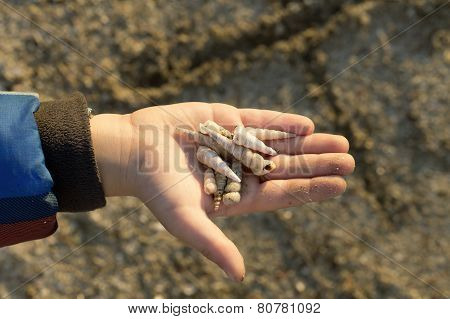 Little Boy Holding Shells In His Hand. Collecting Them For Making Jewellery.
