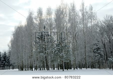 Winter landscape in the park.Winter fir covered with snow. Alexandria Park,city Bila Tserkva, Kiev r