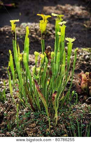 Yellow Pitcher Plant (sarracenia Flava)