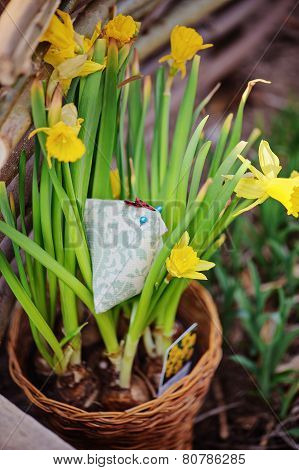 yellow narcissus in pot and handmade fabric chicken in spring garden