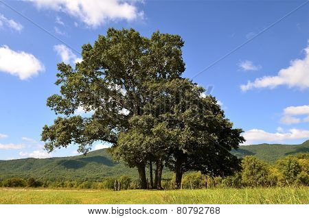 Trees in Great Smoky Mountains