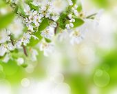 foto of apple blossom  - Spring border background with beautiful blossom - JPG