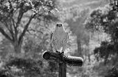 pic of goshawk  - Trained hawk landed on the perch in the woods - JPG