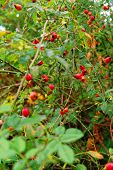 stock photo of rosa  - red ripe fruits of the Rosa Canina after rain - JPG