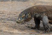 picture of komodo dragon  - Large Komodo Dragon on the island of Rinca - JPG