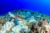 pic of green turtle  - Green Turtle with Remora attached on a tropical coral reef - JPG