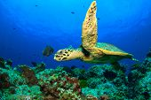 pic of hawksbill turtle  - Hawksbill Sea Turtle - JPG