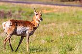 pic of mule  - Mule deer in Bryce Canyon National Park Utah