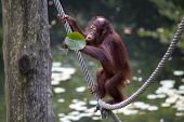 picture of orangutan  - Portait of a Baby orangutan on a rope playing with a waterlily leaf  - JPG