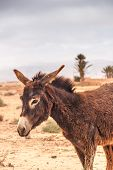 foto of wild donkey  - Brown donkey at field at summer. Morocco