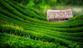 image of ami  - Tea plantation in the Doi Ang Khang Chiang Mai Thailand - JPG
