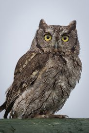 picture of screech-owl  - close up portrait of a western screech owl Megascops perched and staring forward - JPG