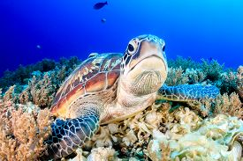 stock photo of biodiversity  - Green Turtle on the sea bed with clear blue water - JPG