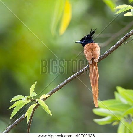 Asian Paradise Flycatcher Bird In Sri Lanka