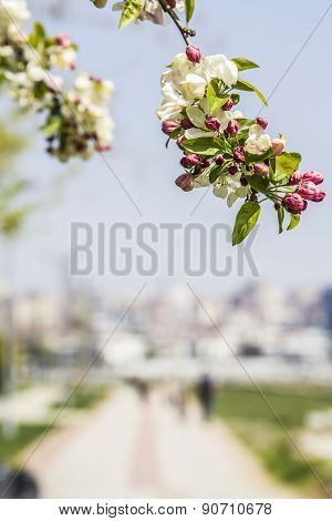 background blooming apple trees and the seaside promenade in Kad?köy