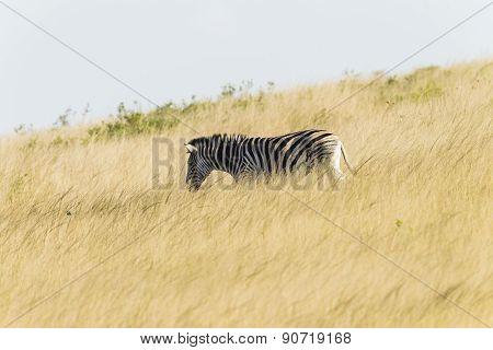 Zebra Grassland Wildlife