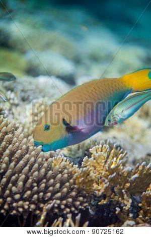 Big yellow scarus fish