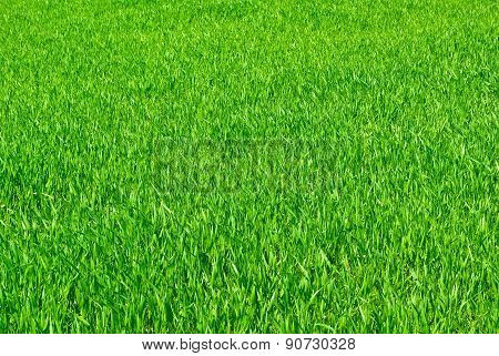Young Shoots Of Grain Crops Or Grass