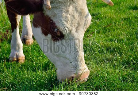 A Cow Grazes On A Young Green Grass