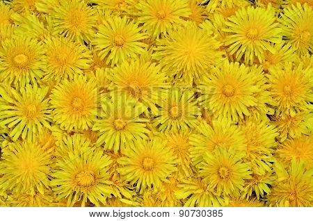 Large Bouquet In The Form Of A Carpet Of Dandelions