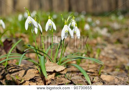 Young Snowdrops Blooming In Spring In The Forest