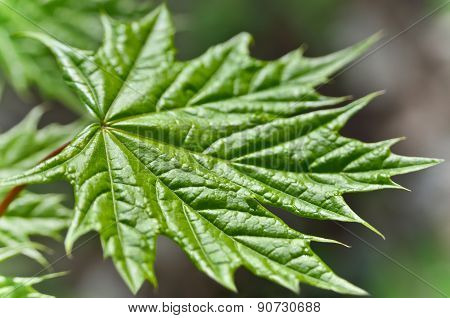 Young Maple Leaf In The Forest Close-up