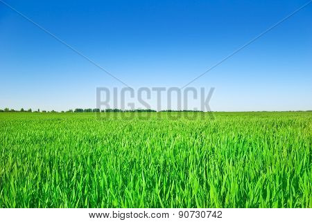 The Stems Of Young Plants Of Grain Crops In The Field