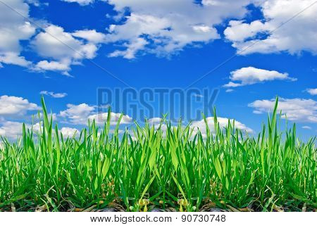 Stalks Of Grass On The Background Of Blue Sky With Clouds