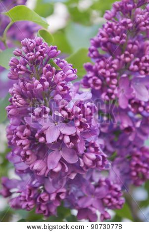 Blooming Lilac Bushes Against The Clear Blue Sky In Spring.