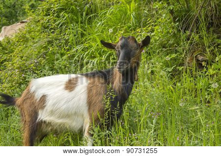 Close Up Of A Goat Outdoors